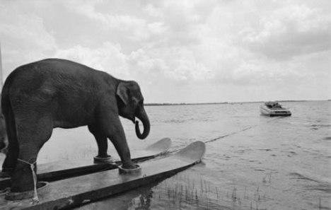 70 Elephant Water Skiing