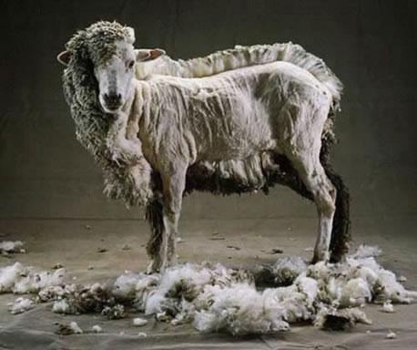 70 Sheep Pattern Baldness