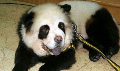 80 Panda Dog